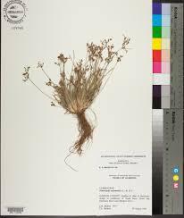 fimbristylis autumnalis species page apa alabama plant atlas