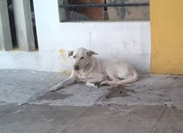 american pitbull terrier in bangalore classified advertisements