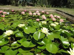 propagating australian native plants growing water lilies u0026 water plants u2013 wallis creek watergarden