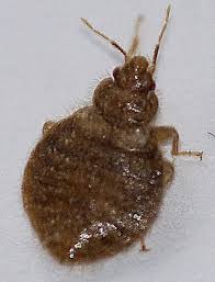 light brown roach looking bug bugs that look like bed bugs