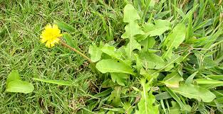 Weed Or Flower Pictures - weeds in grass u2013 how to get rid of weeds in grass