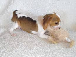 bluetick coonhound for sale in va beagles for sale ads free classifieds