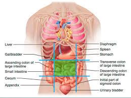 Abdominal Anatomy Quiz Today U0027s Agenda Next Class U2013 Quiz Over Gi Anatomy Be Prepared To