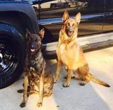 belgian malinois police strong working lines belgian malinois major x anna in hoobly