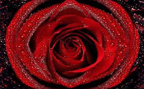 beautiful rose pics qygjxz