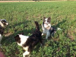 australian shepherd e cavalli allevamento australian shepherd chi siamo