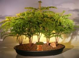 island pine bonsai tree for sale forest five cluster planting