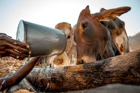 genetically modified cattle may help reshape african farms