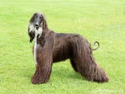 afghan hound black hair afghan hound dog breed gallery