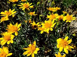 flowers san diego photo goldenbush s bright yellow flowers dot the reaches of