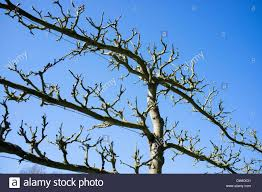 apple tree with branches trained to a wire trellis stock photo