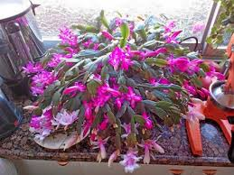 tips on growing pumpkin patches thanksgiving cactus a