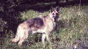 cost of a belgian sheepdog lifespan of a dog a dog years chart by breed