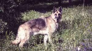 australian shepherd vs husky lifespan of a dog a dog years chart by breed
