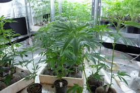 cannabis im garten drogen im garten 13 j磴hriger verpfeift seine mutter