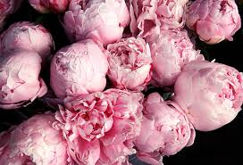 peonies flowers royalty free peony pictures images and stock photos istock