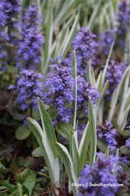 native japanese plants 98 best variegated foliage images on pinterest shade garden