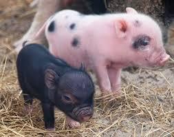 25 teacup pigs sale ideas micro pigs