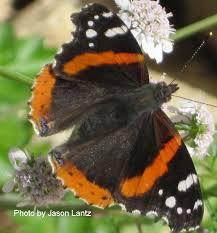 admiral butterfly on cilantro flowers jason lantz central