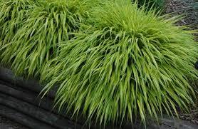 ornamental grass hakonechloa macro aureola shade tolerant
