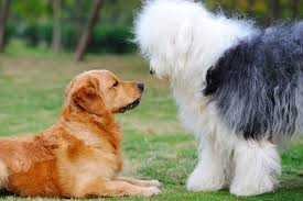 australian shepherd cost under the skin in dogs symptoms causes diagnosis treatment