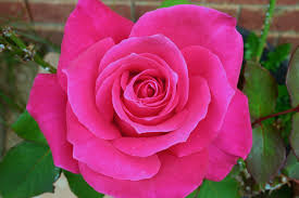 100 pink roses meaning of flowers roses and their meaning
