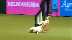 haircut ideas for long hair jack russell dogs jack russell goes crazy during agility round at crufts daily