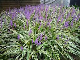 monkey grass seed liriope muscari ornamental grass seeds shade p