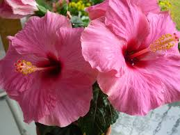 which state has a hibiscus 6 amazing benefits of hibiscus flower tea