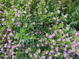 All Year Flowering Shrubs - 313 best fl flowering plants other images on pinterest