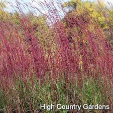 213 best grassy images on ornamental grasses plants