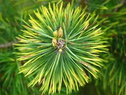 free photo tree needles pine needles conifer pine pine cones max