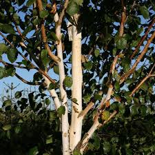 ornamental trees for sale mail order trees