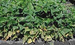 Plant Diseases Caused By Microorganisms - common blight of beans vegetables plant diseases pests