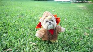 happy thanksgiving from munchkin the teddy