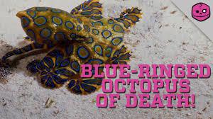 australia u0027s blue ringed octopus will destroy you youtube