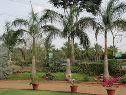 ornamental palms varieties smallhomegardens2012