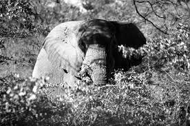 mammoths elephants