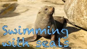 California wild swimming images Wild seals swimming with them in the ocean jpg