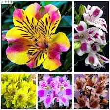 Peruvian Lily Mix Peruvian Lily Flower Promotion Shop For Promotional Mix