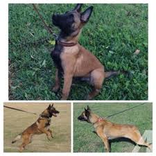 belgian malinois import pup for sale akc belgian malinois puppies for sale for sale in miami florida
