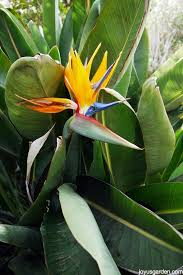 bird of paradise flower bird of paradise plant care