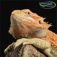 25 red bearded dragon ideas reptiles lizards