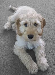afghan hound collie mix cockapoo cocker spaniel poodle mix dogable