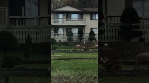 deer gets frisky with lawn ornament deer