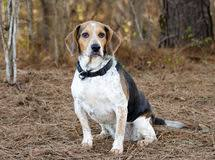 bluetick coonhound rabbit hunting hunting dog rabbit stock photos images u0026 pictures 233 images