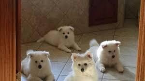 american eskimo dog breeders new england view ad american eskimo dog puppy for sale minnesota cannon