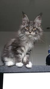 535 best beautiful cat breed images on pinterest maine coon cats