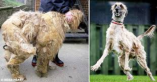 afghan hound hairstyles the dog saved by a close shave vets remove 11lbs of hair from