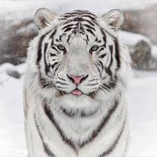 the beautiful white siberian tiger imgur